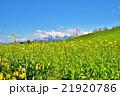 早春の菜の花・スイセンの花・残雪の越後三山山並み 21920786