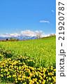 早春の菜の花・スイセンの花・残雪の越後三山山並み 21920787