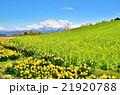 早春の菜の花・スイセンの花・残雪の越後三山山並み 21920788