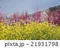 菜の花と花桃 21931798