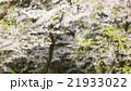 桜 葉桜 植物の写真 21933022