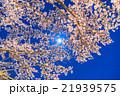 月光の夜桜 21939575