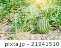 すいか スイカ 西瓜の写真 21941510