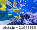 熱帯魚 魚 アクアリウムの写真 21943930