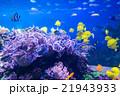 熱帯魚 魚 アクアリウムの写真 21943933