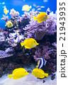 熱帯魚 魚 アクアリウムの写真 21943935