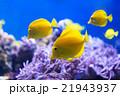 熱帯魚 魚 キイロハギの写真 21943937
