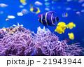 熱帯魚 魚 アクアリウムの写真 21943944
