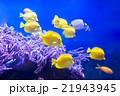 熱帯魚 魚 アクアリウムの写真 21943945
