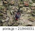 ヨコヅナサシガメ カメムシ目 幼虫の写真 21944031