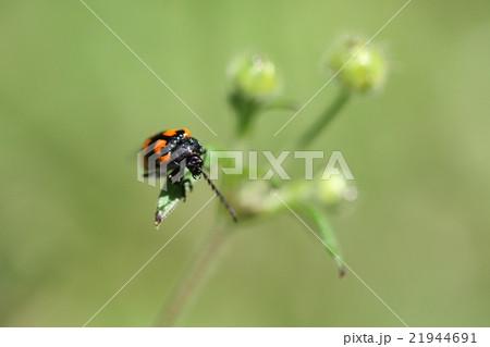 生き物 昆虫 イタドリハムシ、成虫も幼虫もイタドリの葉を食べるそうです 21944691