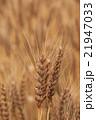 麦 麦畑 穀物の写真 21947033