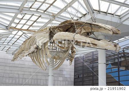 大阪府大阪市東住吉区長居公園植物園のマッコウクジラの骨標本 21951902