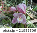 シンビジュームの大きめな桃色の花 21952506