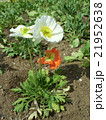 オレンジ色の大きなポピーの花 21952638