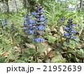 アジュンガとも言う西洋ジュウニヒトエの紫色の花 21952639