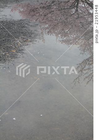 水たまりに映る桜 21953448