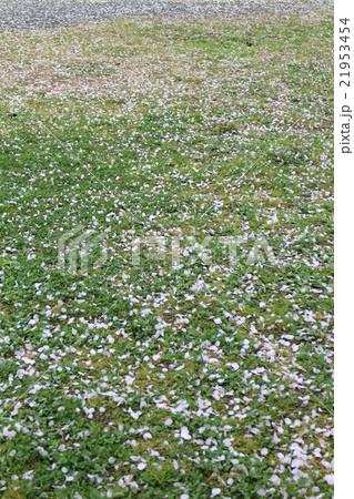 雨で散った桜の花びら 21953454