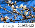 Sakura blossom in Japan 21953482