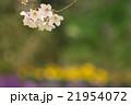 サクラ 21954072
