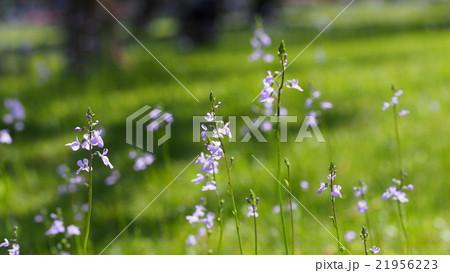 マツバフウランの花 21956223