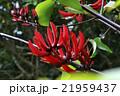 花 デイゴ 咲くの写真 21959437
