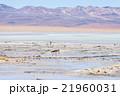 フラミンゴ ボリビア ボリビア共和の写真 21960031