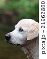 オーストラリアのドッグパークで和むゴールデン 21962860