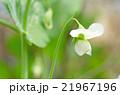 花 スナップエンドウ スナックエンドウの写真 21967196
