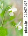 花 スナップエンドウ スナックエンドウの写真 21967197