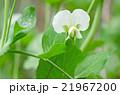 花 スナップエンドウ スナックエンドウの写真 21967200
