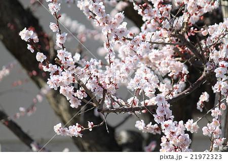 梅の花、満開 21972323
