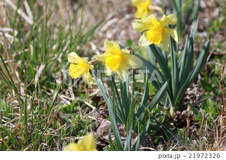 お日様の元に咲く水仙 21972326