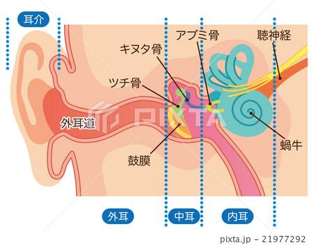 耳の構造 21977292