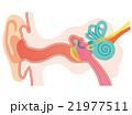 耳 構造 断面図のイラスト 21977511