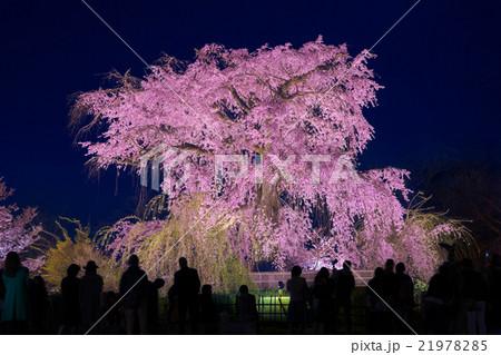 京都 円山公園 枝垂桜 夜景 21978285