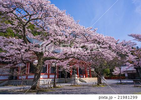 京都 鞍馬寺 桜 21981299