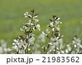ルッコラの花 21983562