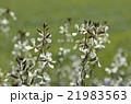 ルッコラの花 21983563