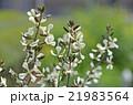ルッコラの花 21983564
