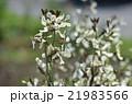 ルッコラの花 21983566