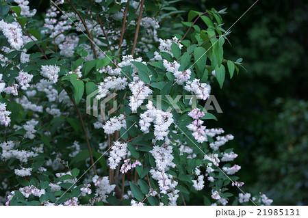 更紗空木サラサウツギ 花言葉は「風情」 21985131