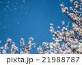 桜 桜吹雪 花びらの写真 21988787