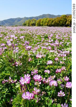 京都嵯峨野のレンゲ畑 21992989