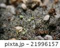 多肉植物コノフィツム・ブルゲリの発芽 21996157