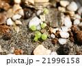 多肉植物コノフィツムの発芽のクローズアップ 21996158