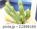 多肉植物の青鎖竜錦 21996160
