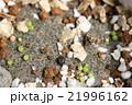 多肉植物コノフィツム達のたくさん発芽した姿 21996162