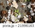 多肉植物コノフィツム達の発芽の表面クローズアップ 21996163