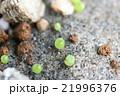 多肉植物コノフィツムの発芽した姿のクローズアップ 21996376